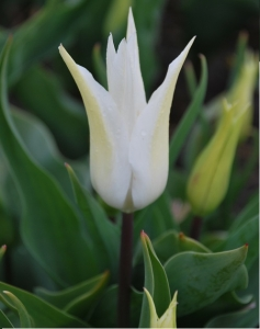 Tulipa Lilyflowering Tres Chic