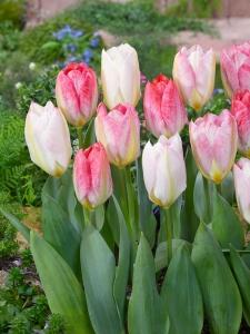 Tulipa Fosteriana Flaming Purissima