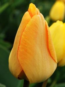 Tulipa Darwin Hybride Day Dream