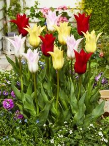 Tulipa Lilyflowering Mixed